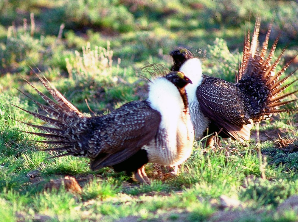 greater-sage-grouse-05.jpg